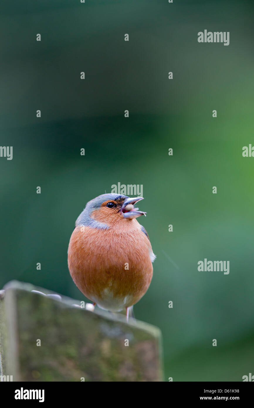 Chaffinch; Fringilla coelebs; Male; Eating Seeds; UK - Stock Image