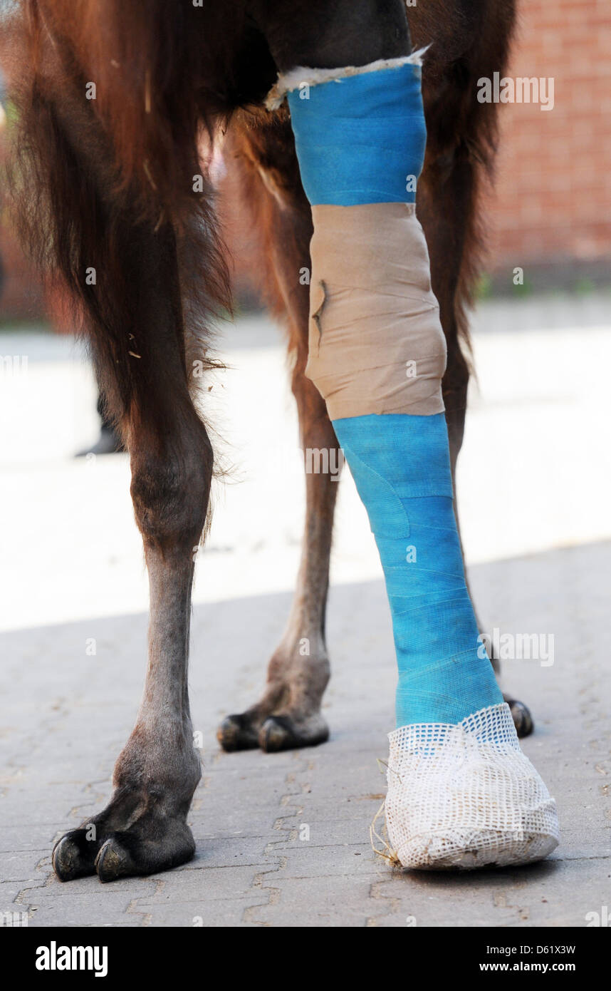 Female camel Leila wears a leg in a cast at the horse clinic in Berlin, Germany, 04 May 2012. Photo: MAURIZIO GAMBARINI - Stock Image