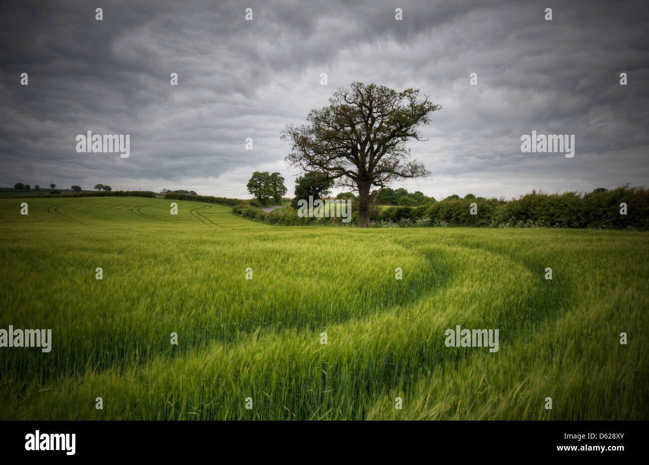 Tracks to a lone tree in rural Hardwick, Derbyshire England UK Stock Photo