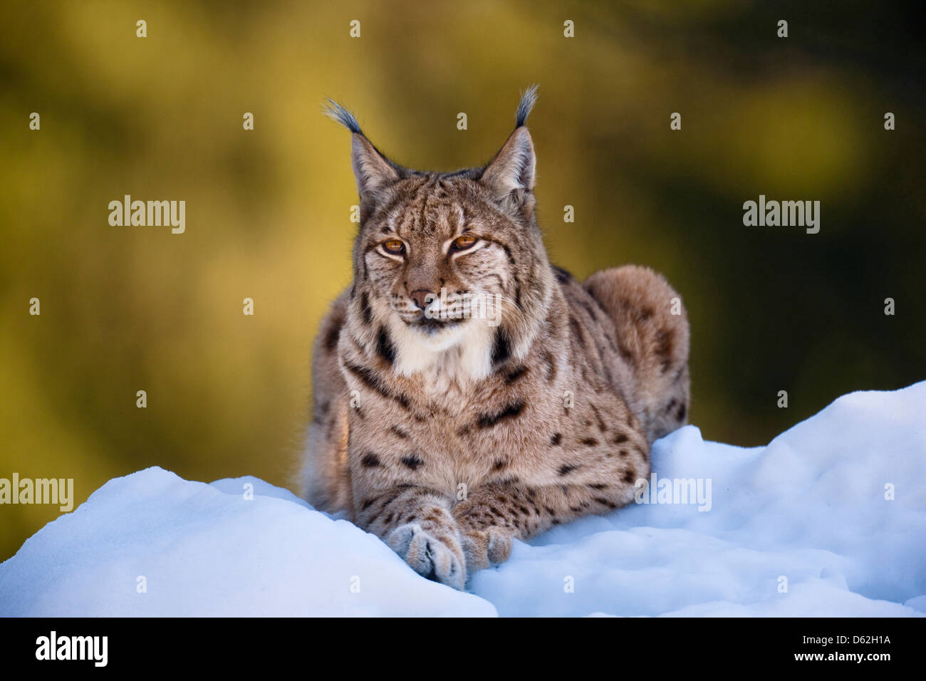 Portrait of Eurasian Lynx (Lynx lynx), subspecies carpathica, in snow. Germany, Bavaria, National Park Bayerischer - Stock Image