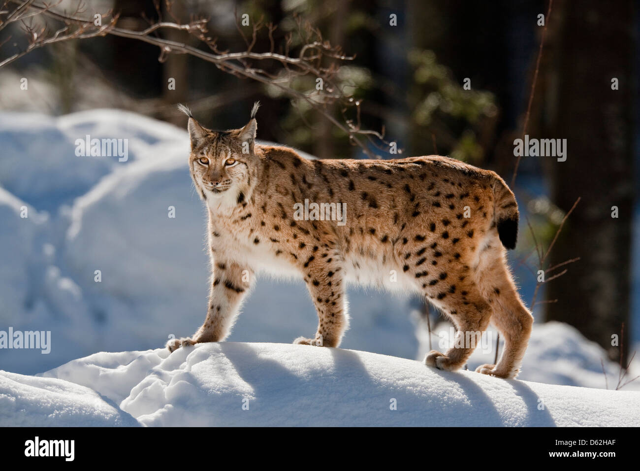 Portrait of Eurasian Lynx (Lynx lynx) walking in deep snow. Germany, Bavaria, National Park Bayerischer Wald. - Stock Image