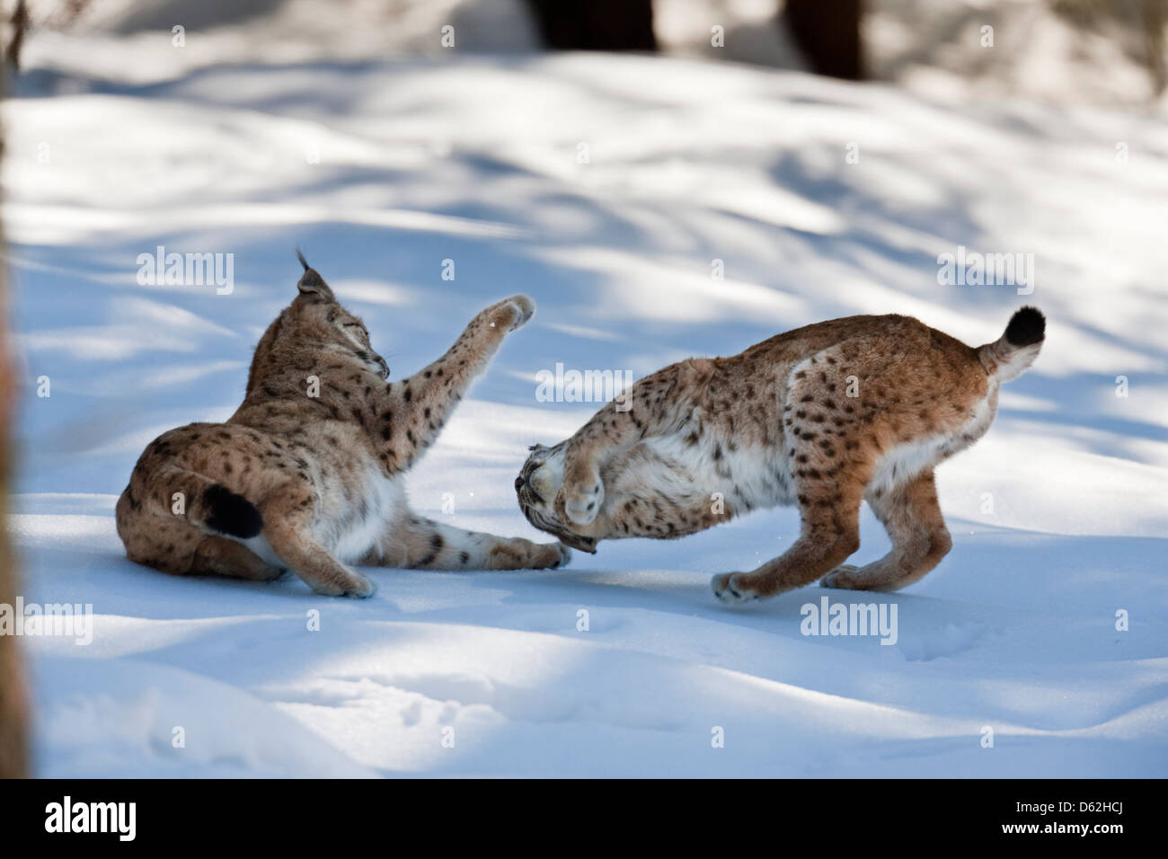 Pair of Eurasian Lynx (Lynx lynx), subspecies carpathica, in snow, playing. Germany, Bavaria, National Park Bayerischer - Stock Image