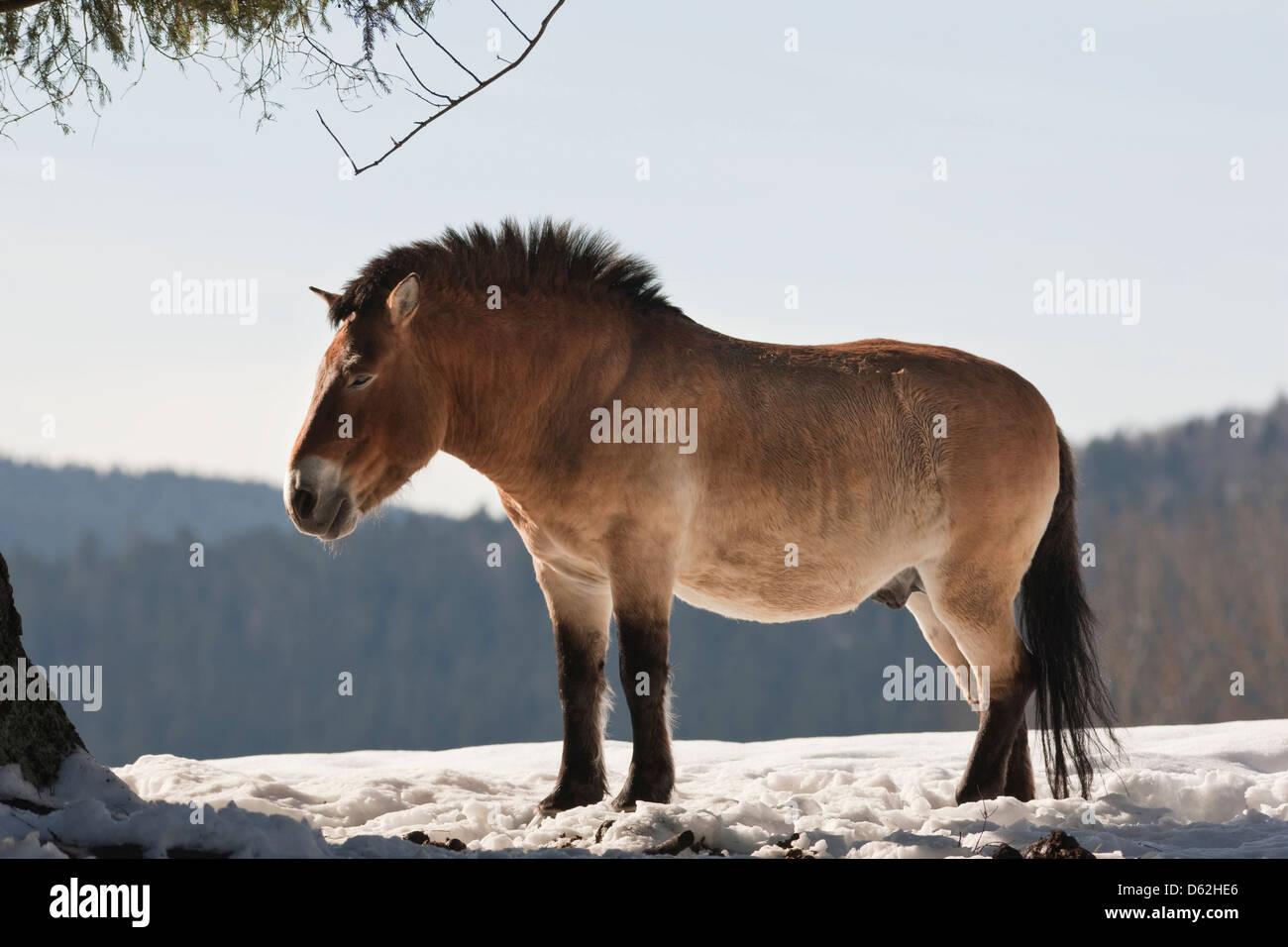 Germany, Bavaria, National Park Bayerischer Wald. Przewalski's Horse or Takhi (Equus ferus przewalskii) in snow, Stock Photo