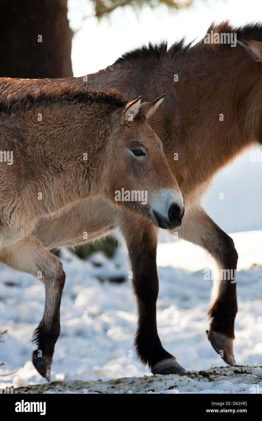 Germany, Bavaria, National Park Bayerischer Wald. Przewalski's Horse or Takhi (Equus ferus przewalskii) in snow, Stock Photo