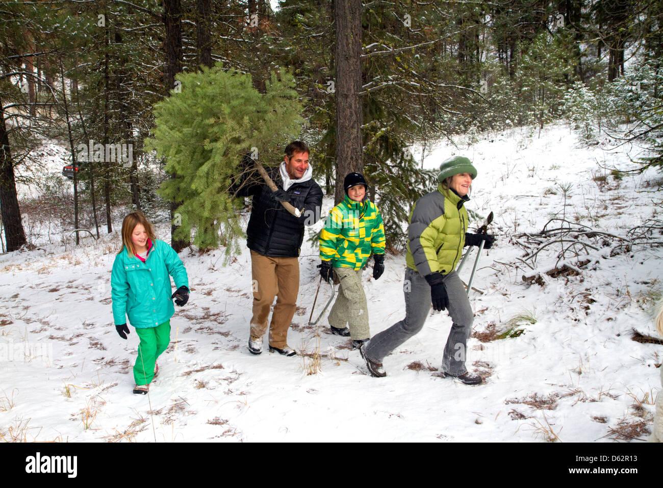 Family cutting a Christmas tree in the Boise National Forest near Idaho City, Idaho, USA. - Stock Image