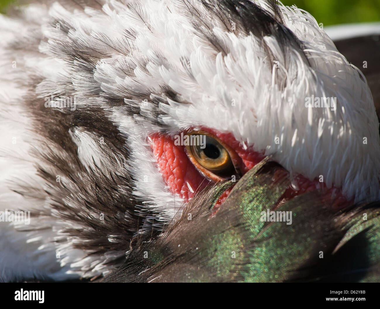 Distrustful look of a duck from under a wing - Stock Image