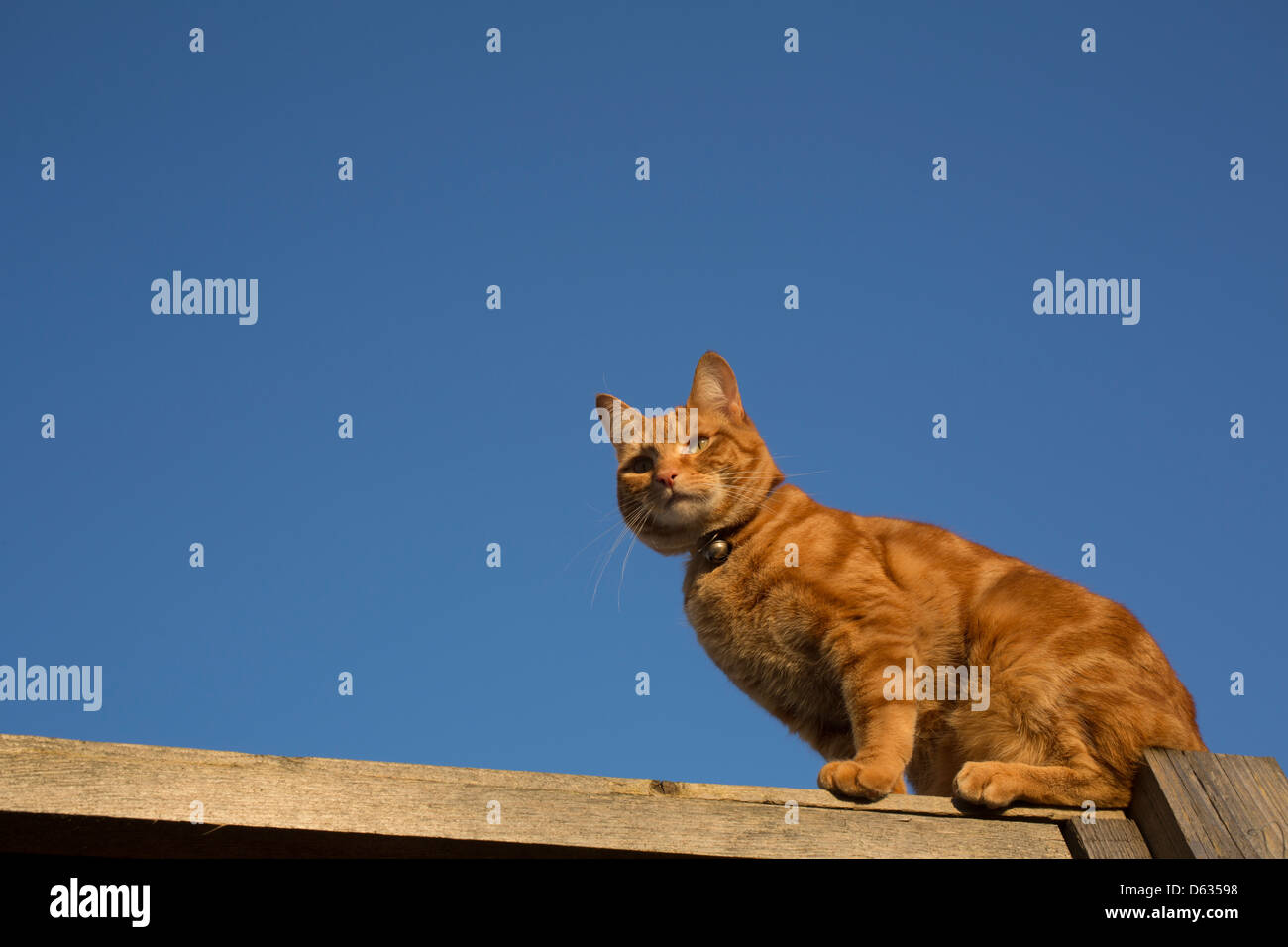 ginger cat balanced on the top of a fence - Stock Image