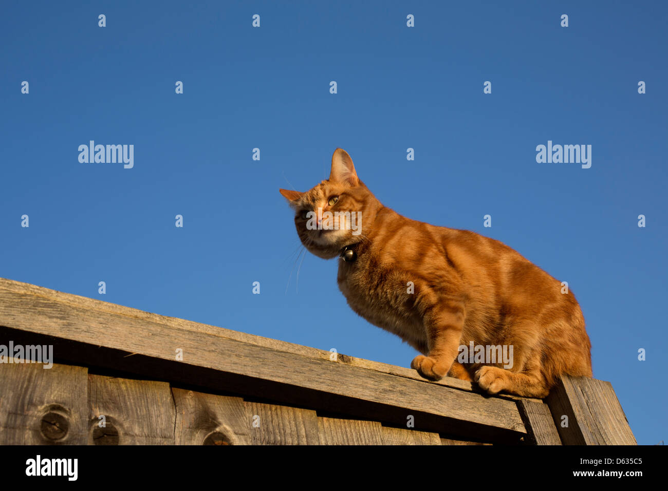 ginger cat balanced on the top of a fence Stock Photo