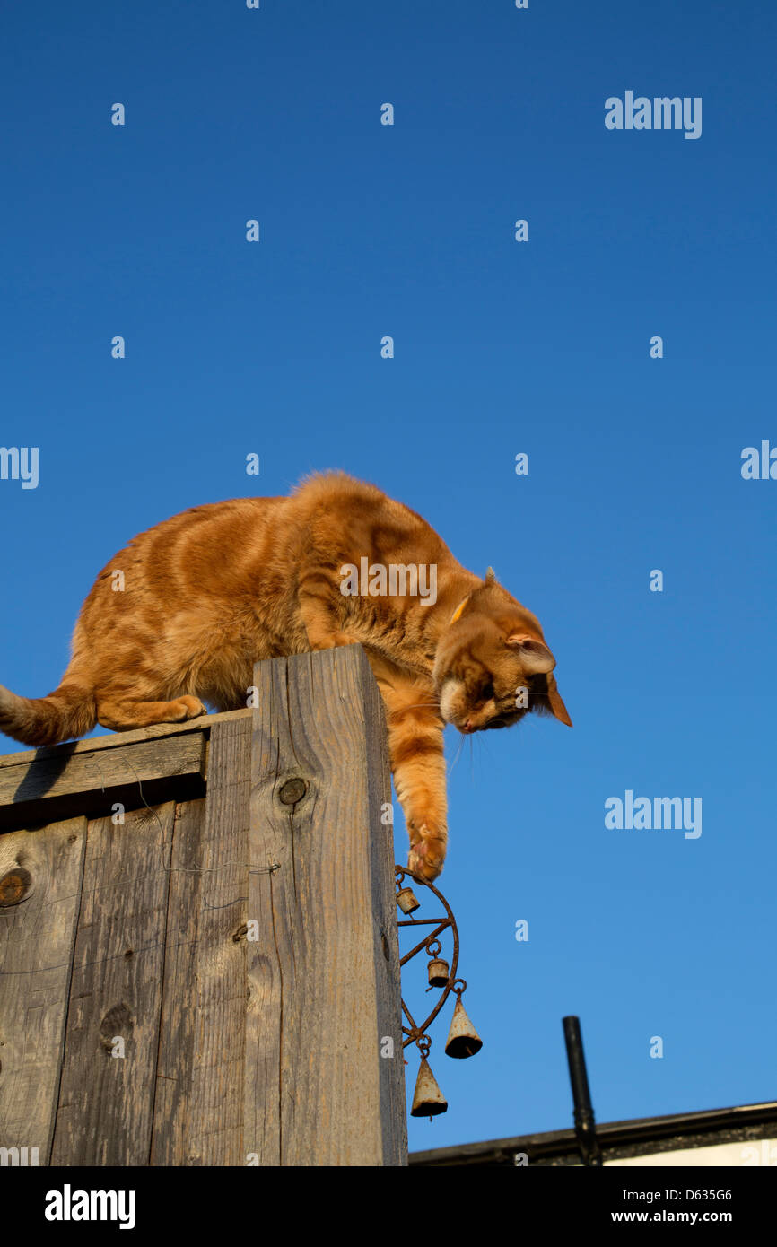 ginger cat sitting on the top of a fence post pawing a bell below Stock Photo