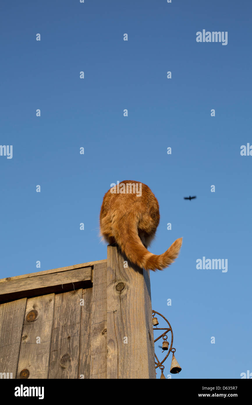 back of a ginger cat sitting on the top of a fence post Stock Photo