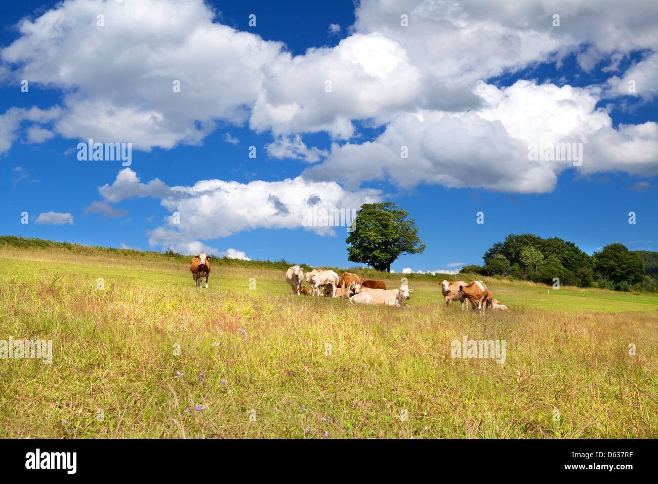 few alpine cows on summer pastoral and beautiful sky - Stock Image