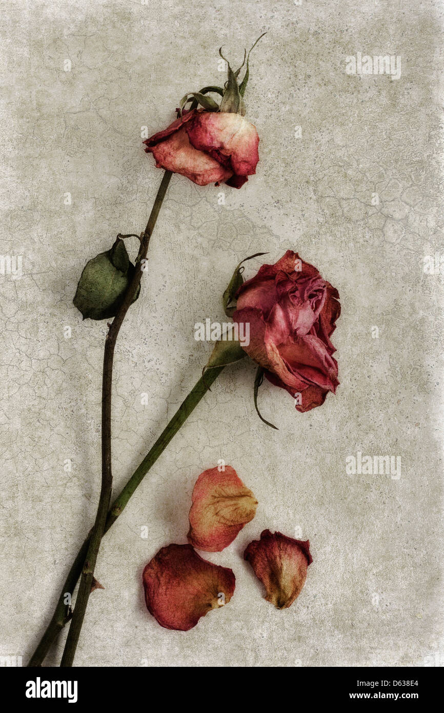 Dried roses on textured background - Stock Image