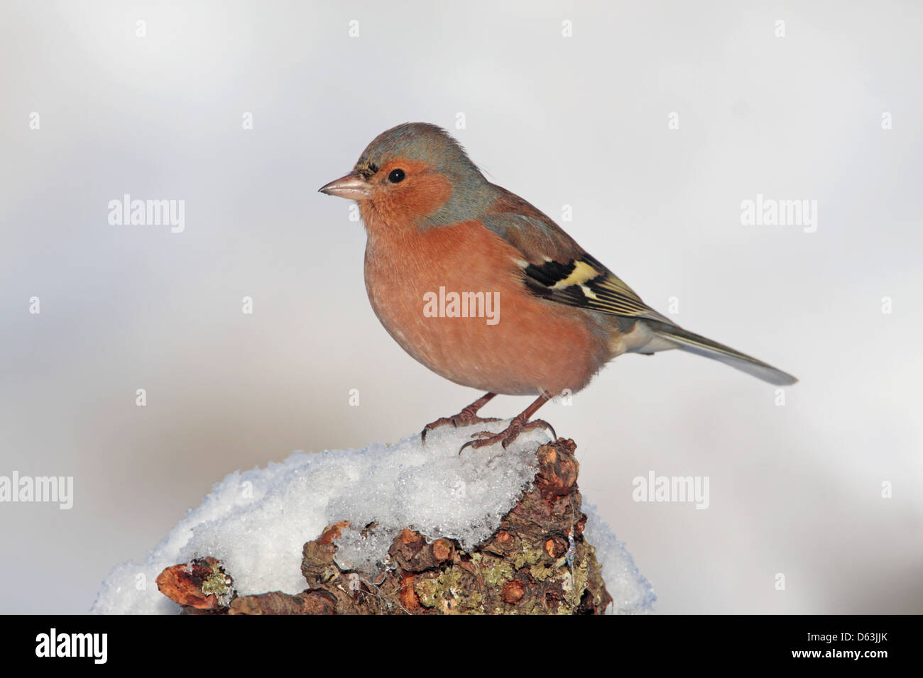 Male Common Chaffinch Fringilla coelebs perched in snow in England - Stock Image