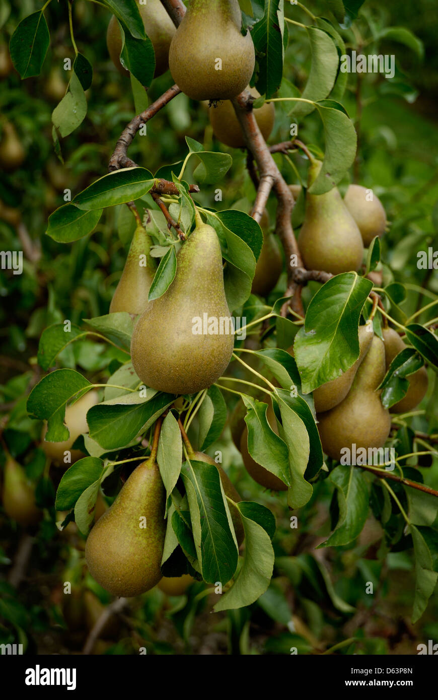 Pears growing on trees in Kent, England, Britain, UK, - Stock Image