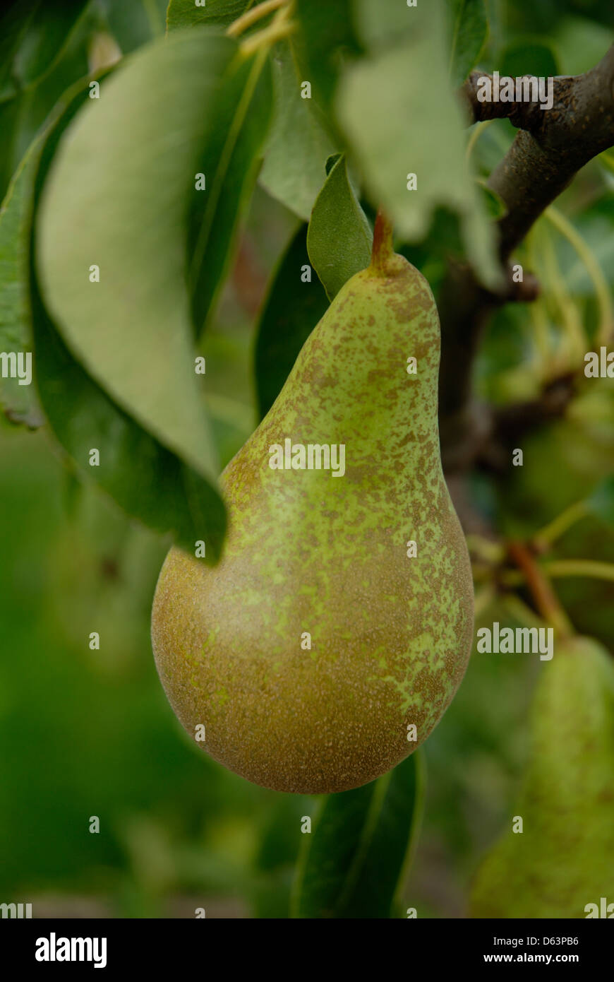 Pear growing on trees in Kent, England, Britain, UK, - Stock Image
