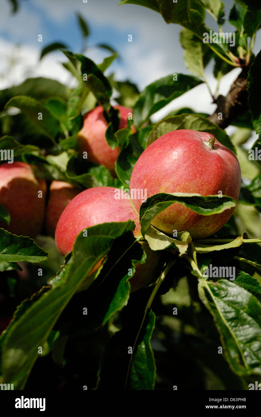 Apples growing on branch of tree in Cobham, Kent, England, Britain, UK, - Stock Image