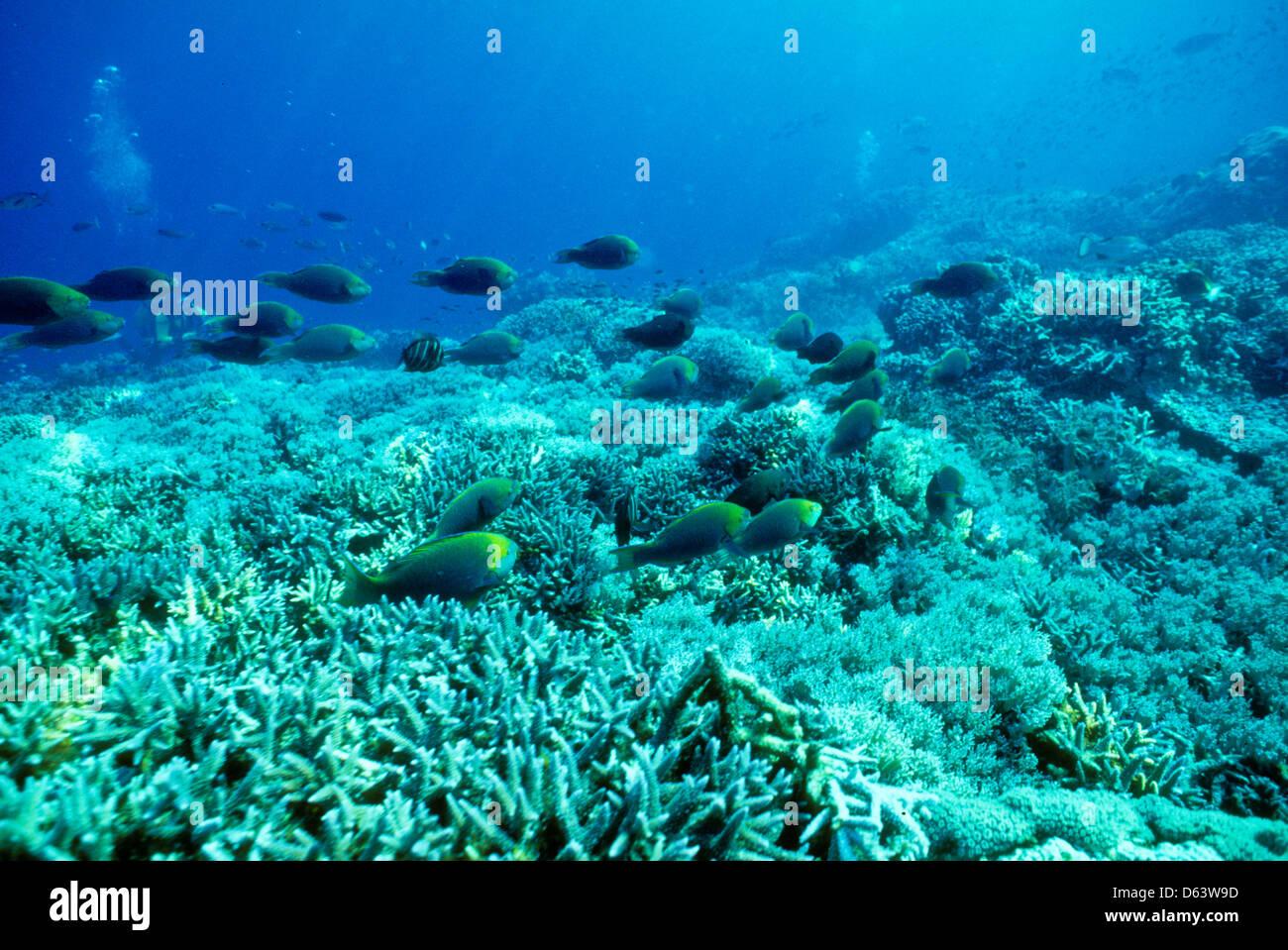 surgeon fish acanthurus sp sipadan may1992 underwater slide stock