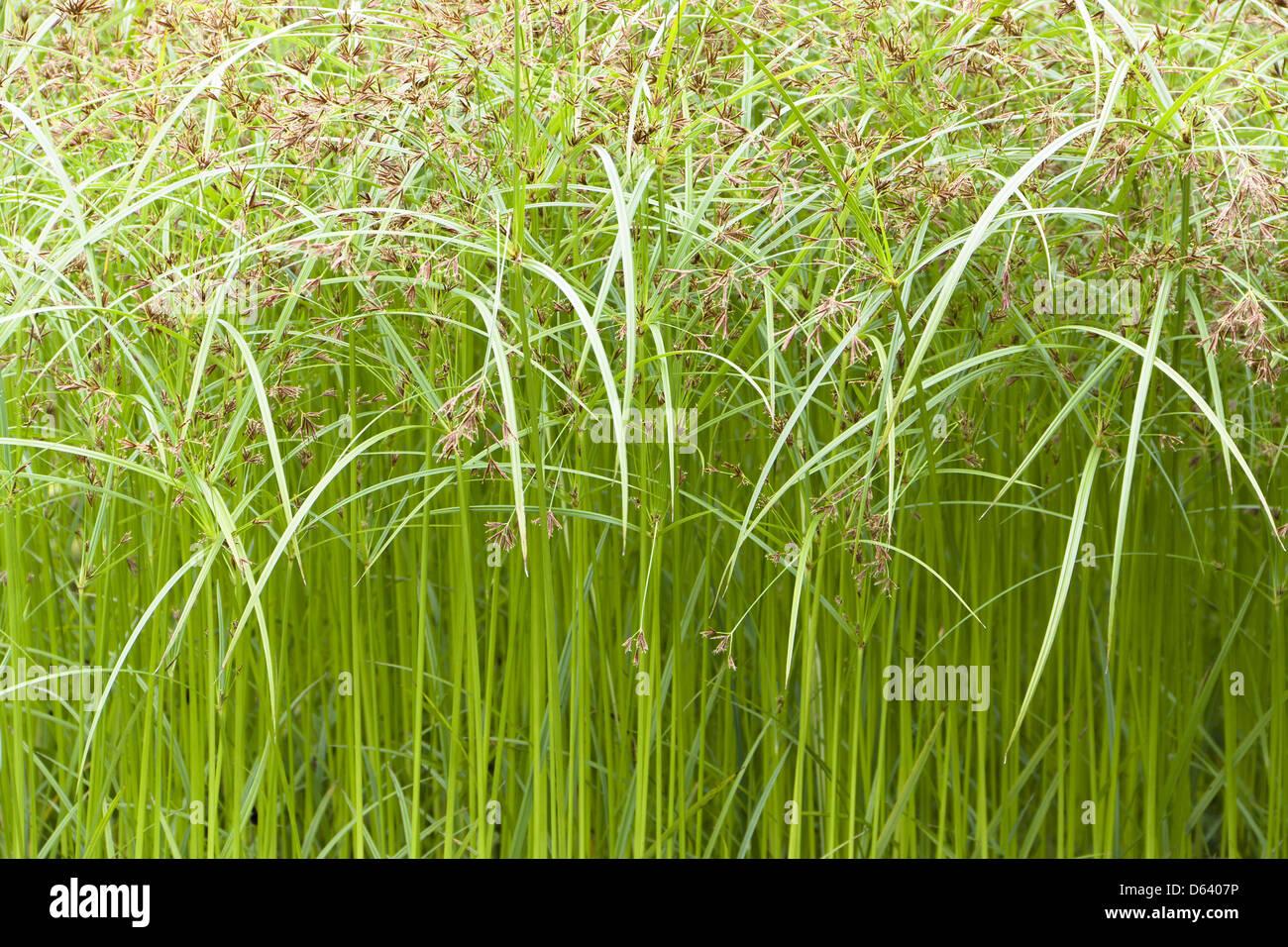 cyperus - Stock Image