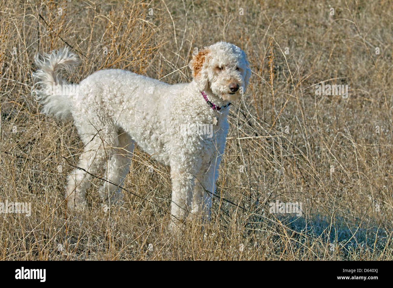 Goldendoodle (cross between a golden retriever and a standard poodle) - Stock Image