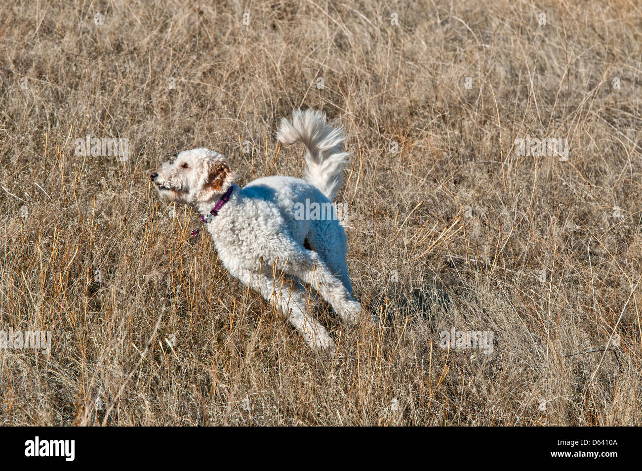 Goldendoodle (cross between a golden retriever and a standard poodle) running - Stock Image