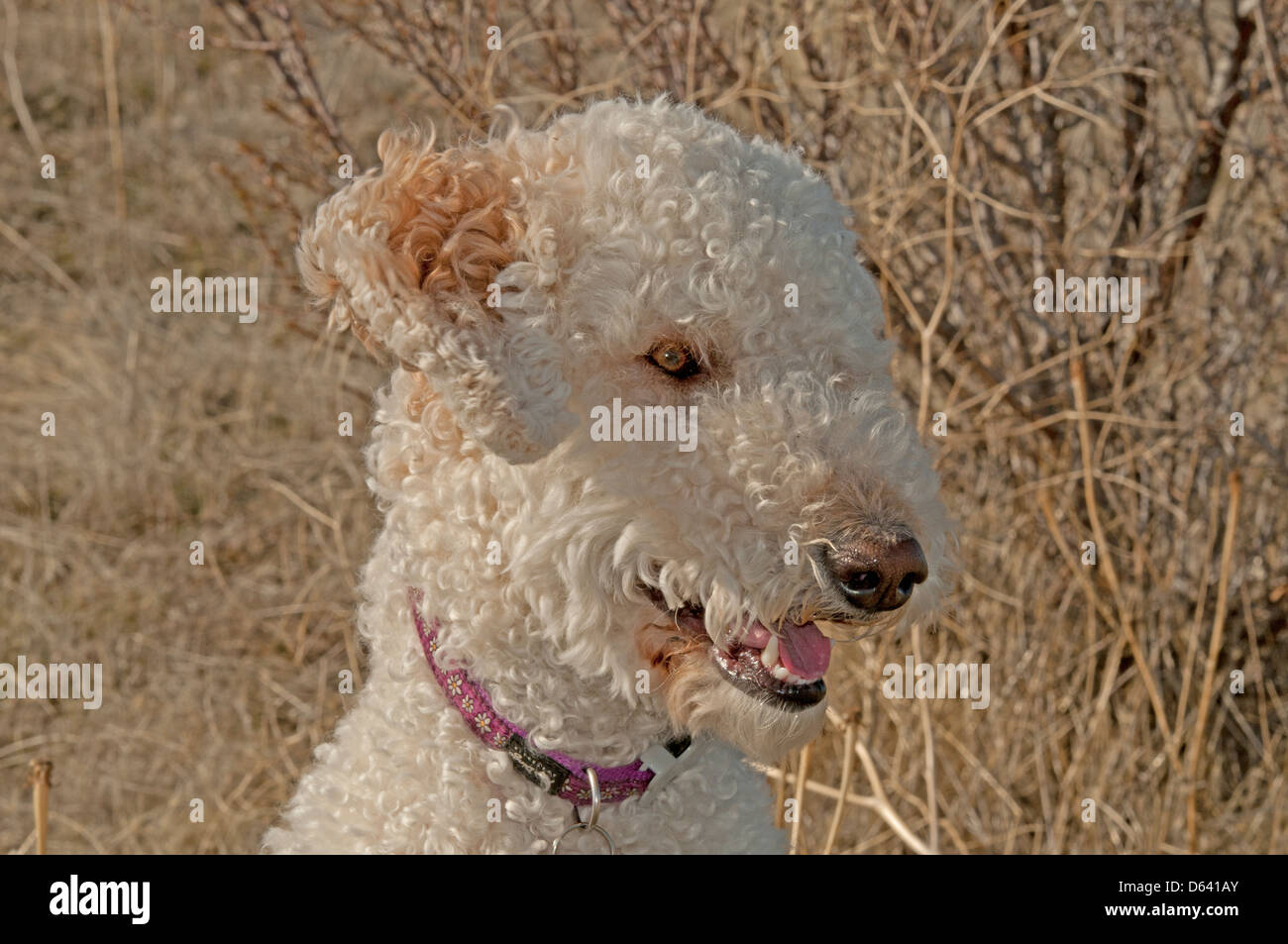 Goldendoodle (cross between a golden retriever and a standard poodle) portrait - Stock Image