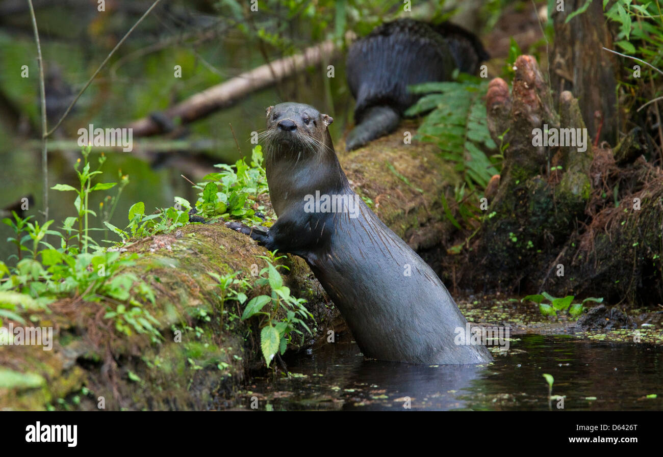 NORTH AMERICAN RIVER OTTER (Lontra canadensis) Six Mile Cypress Slough Preserve, Fort Myers, Florida, USA. January Stock Photo