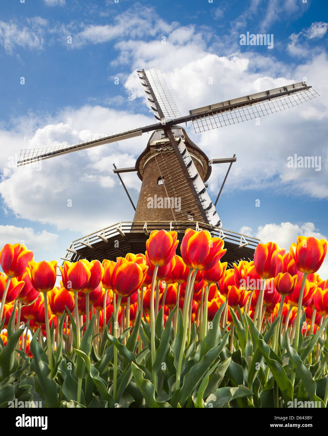 Windmill with tulips, Holland - Stock Image