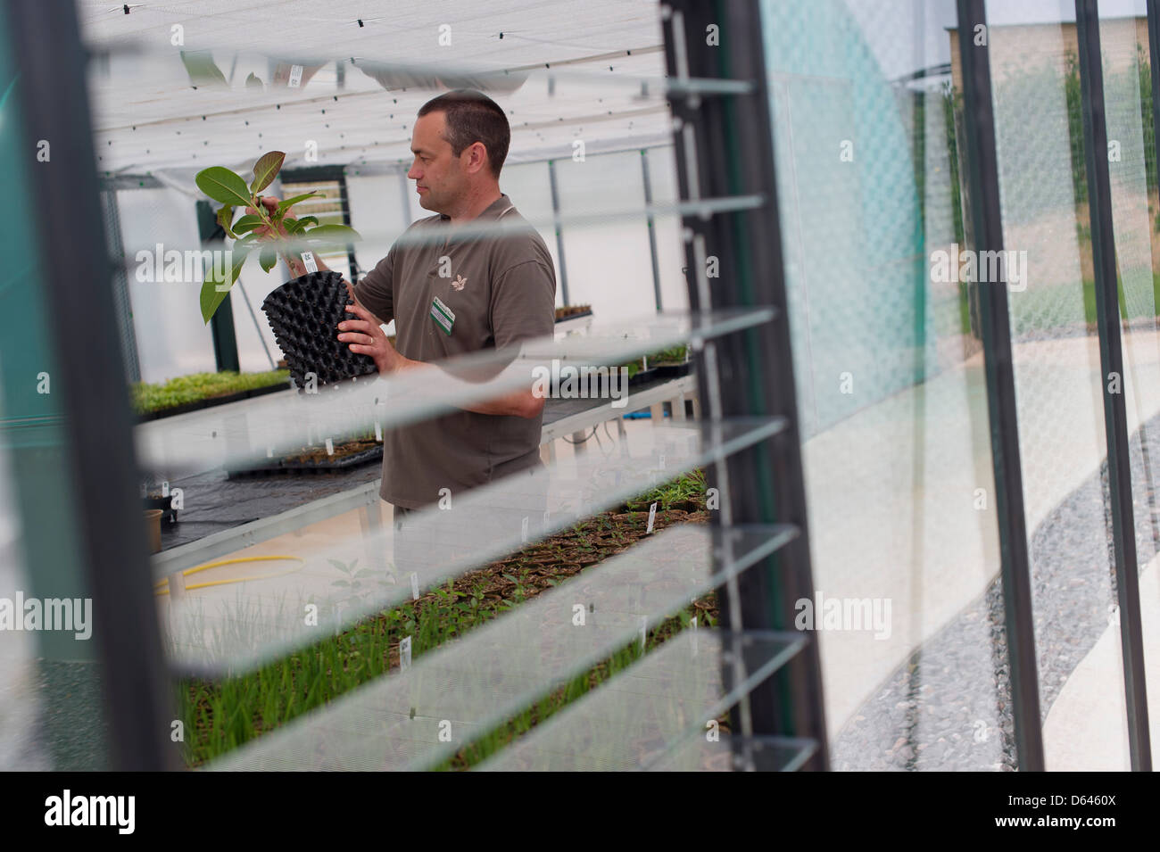 A gardener checking a plant in a nursery greenhouse - Stock Image