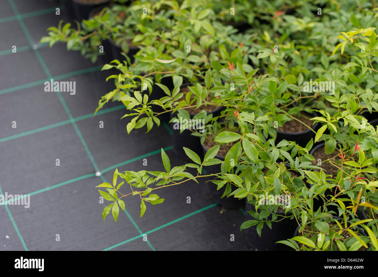 young plants growing in a garden nursery - Stock Image