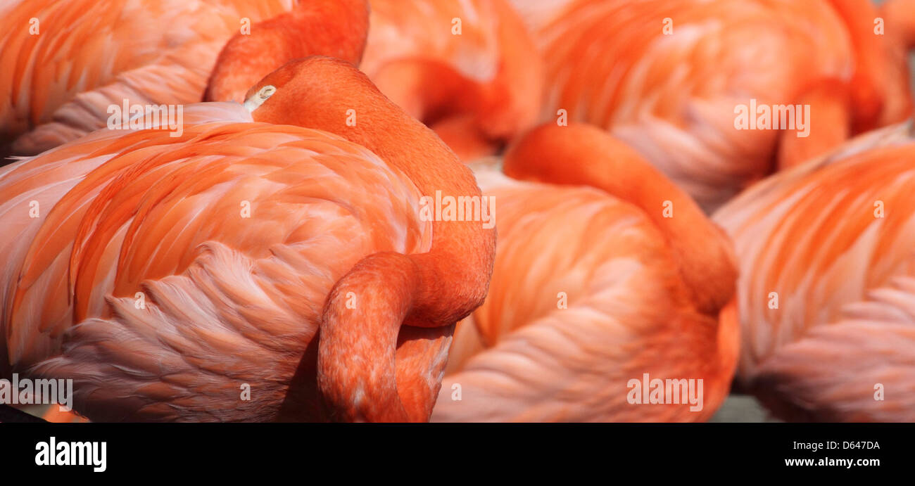 American Flamingo Phoenicopterus ruber also known as the Caribbean flamingo Stock Photo