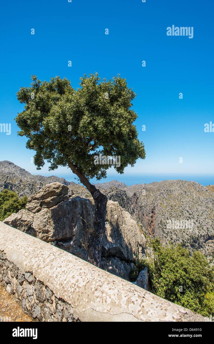 Lone tree on a rocks at Mallorca Spain - Stock Image