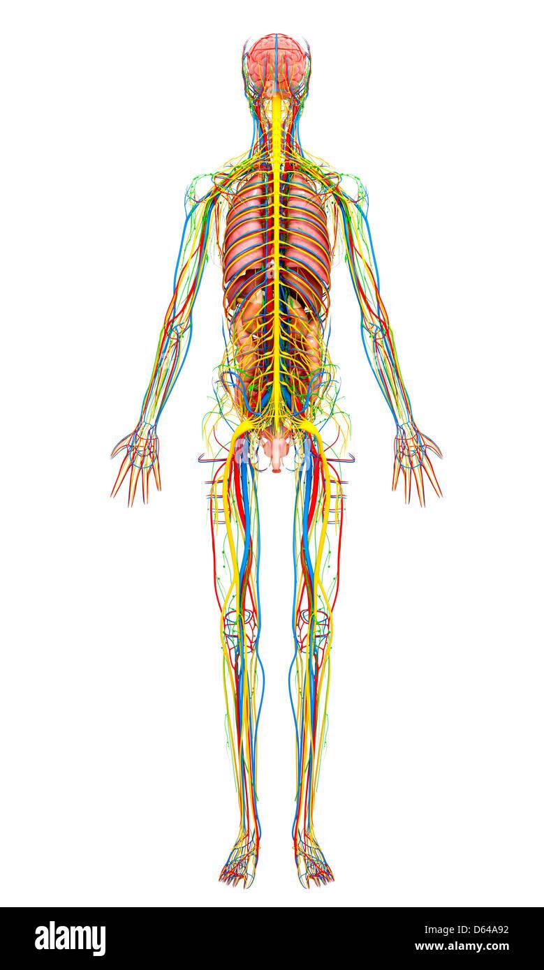 Female anatomy, artwork - Stock Image