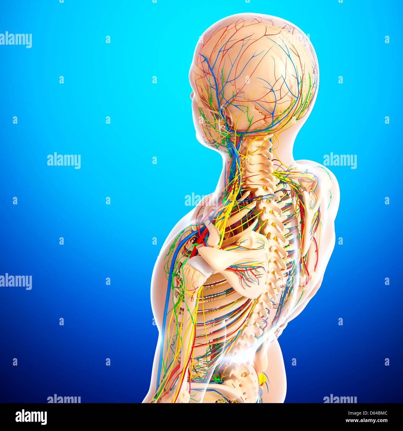 Upper body anatomy, artwork Stock Photo: 55416044 - Alamy