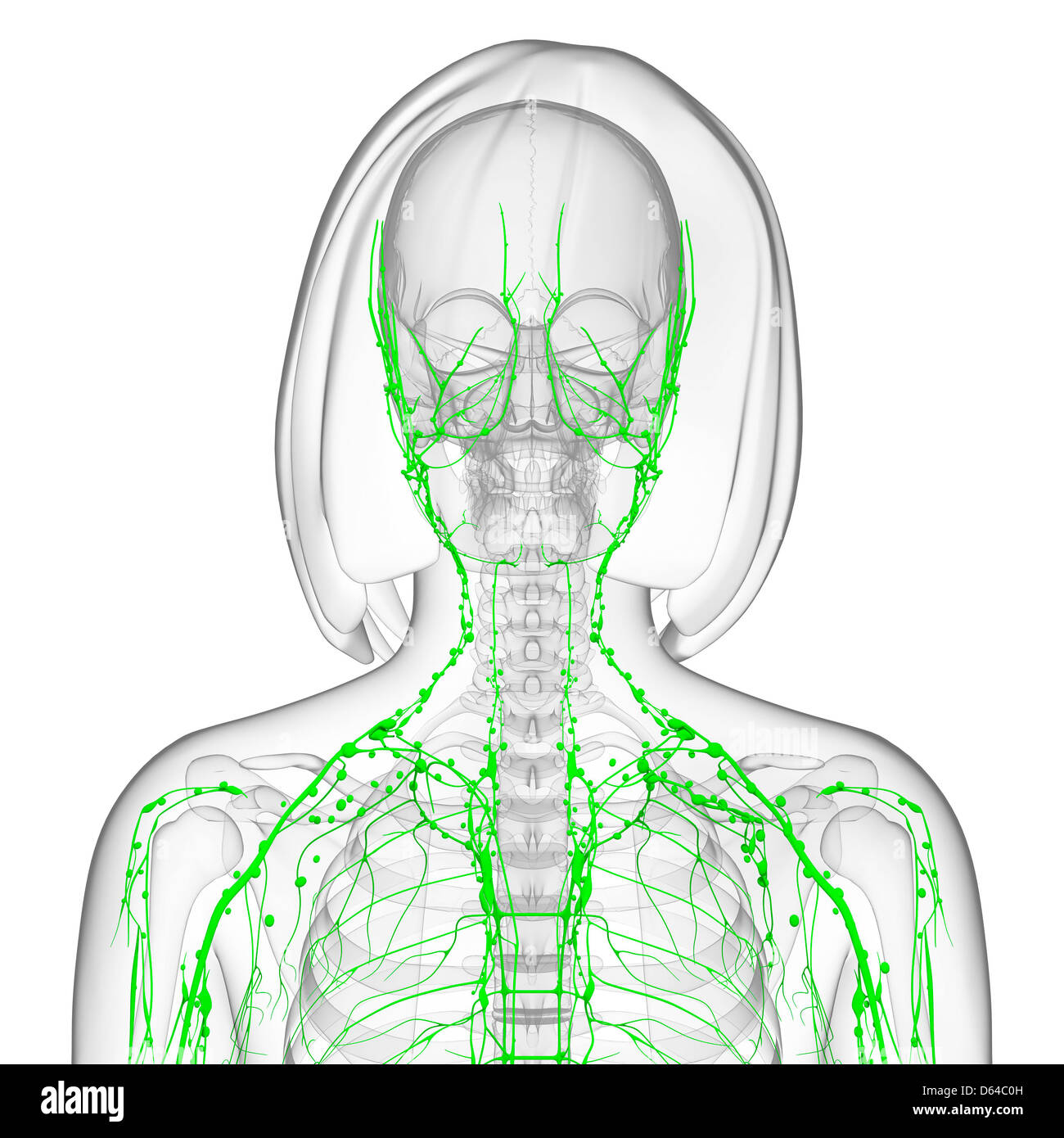 Female lymphatic system, artwork Stock Photo: 55416273 - Alamy
