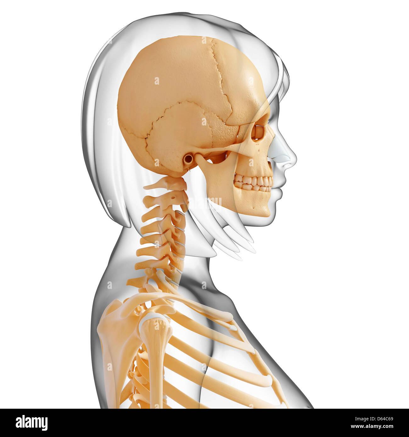 Jawbone Skeleton Teeth Stock Photos Jawbone Skeleton Teeth Stock