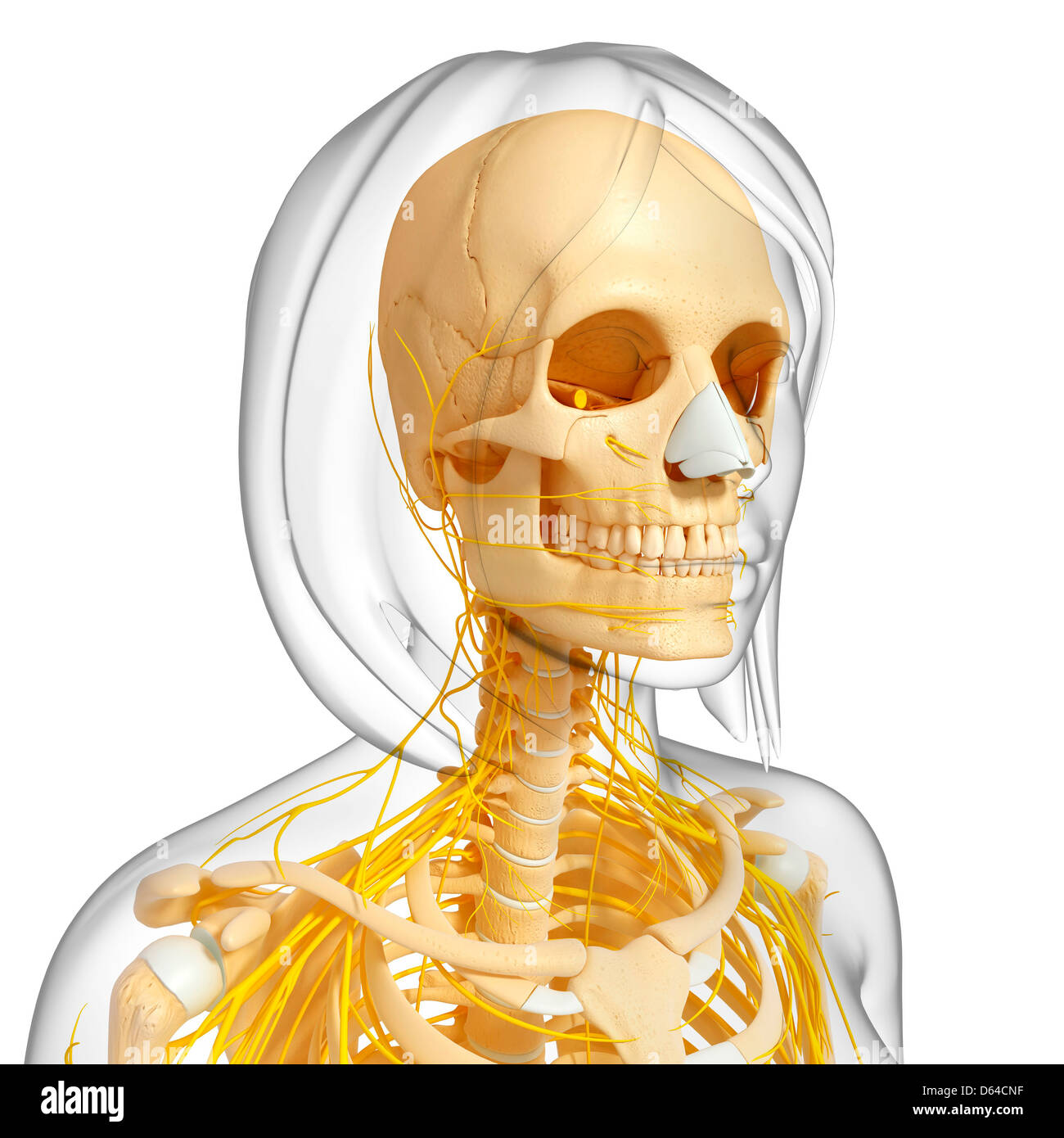Collar Bone Clavicle Jaw Stock Photos Collar Bone Clavicle Jaw