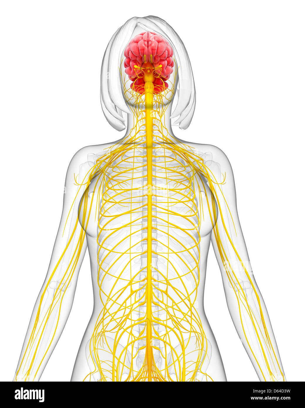 Top view of normal brain stock photos top view of normal brain female nervous system artwork stock image ccuart Image collections