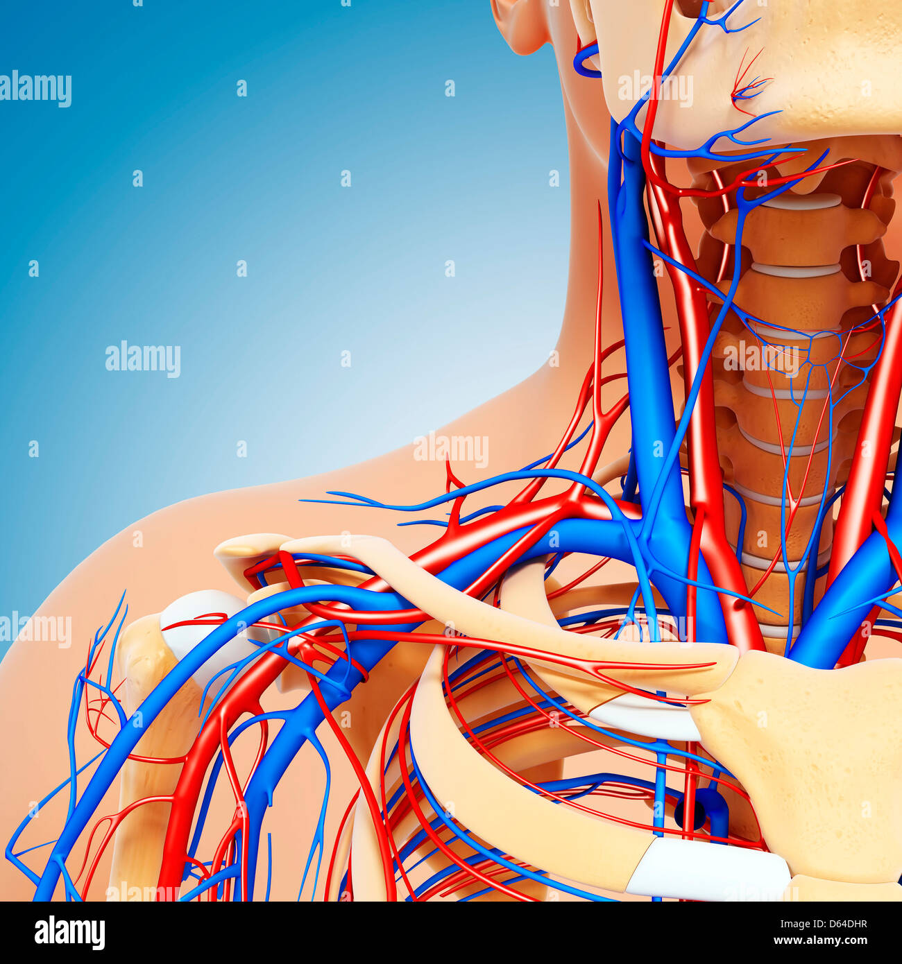 Upper body anatomy, artwork - Stock Image