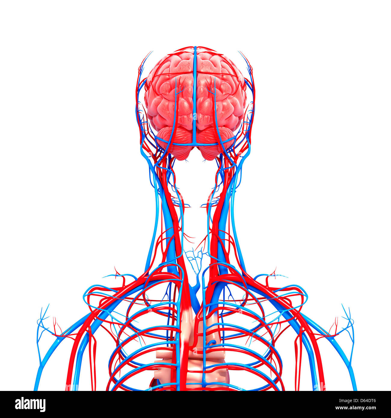 Upper body anatomy, artwork Stock Photo: 55417718 - Alamy