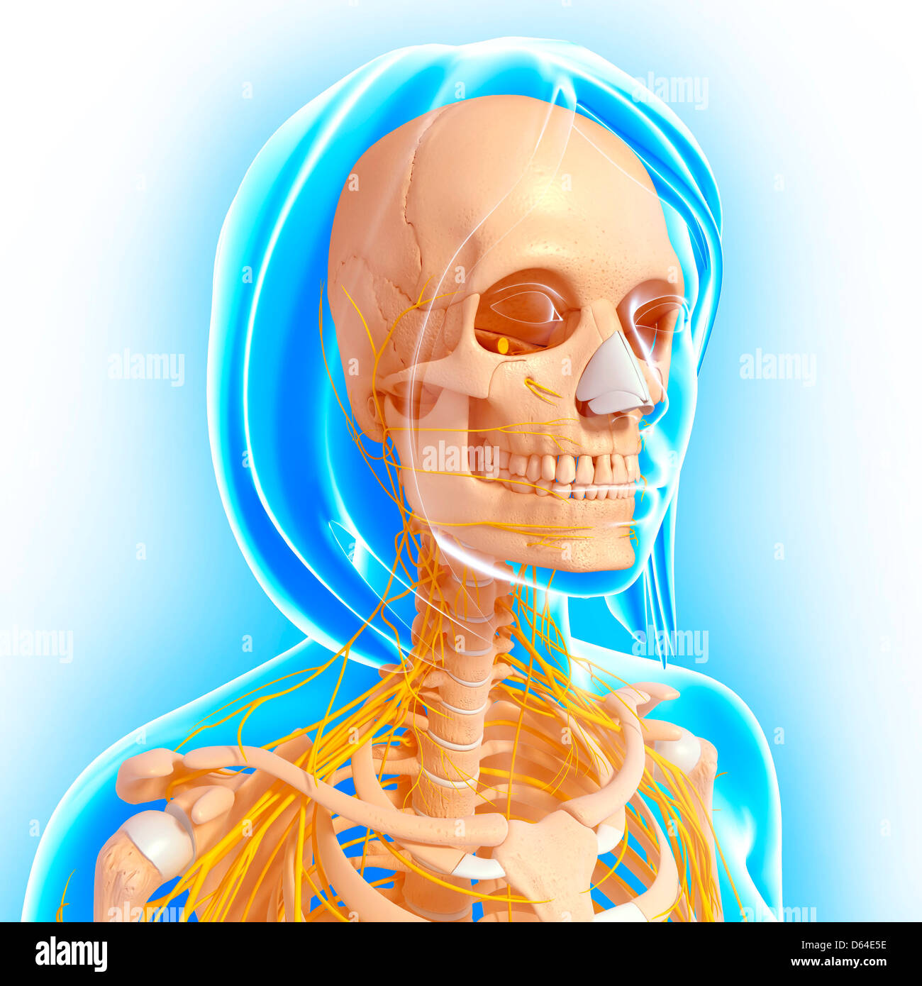 Upper Jaw Bone Stock Photos & Upper Jaw Bone Stock Images - Alamy