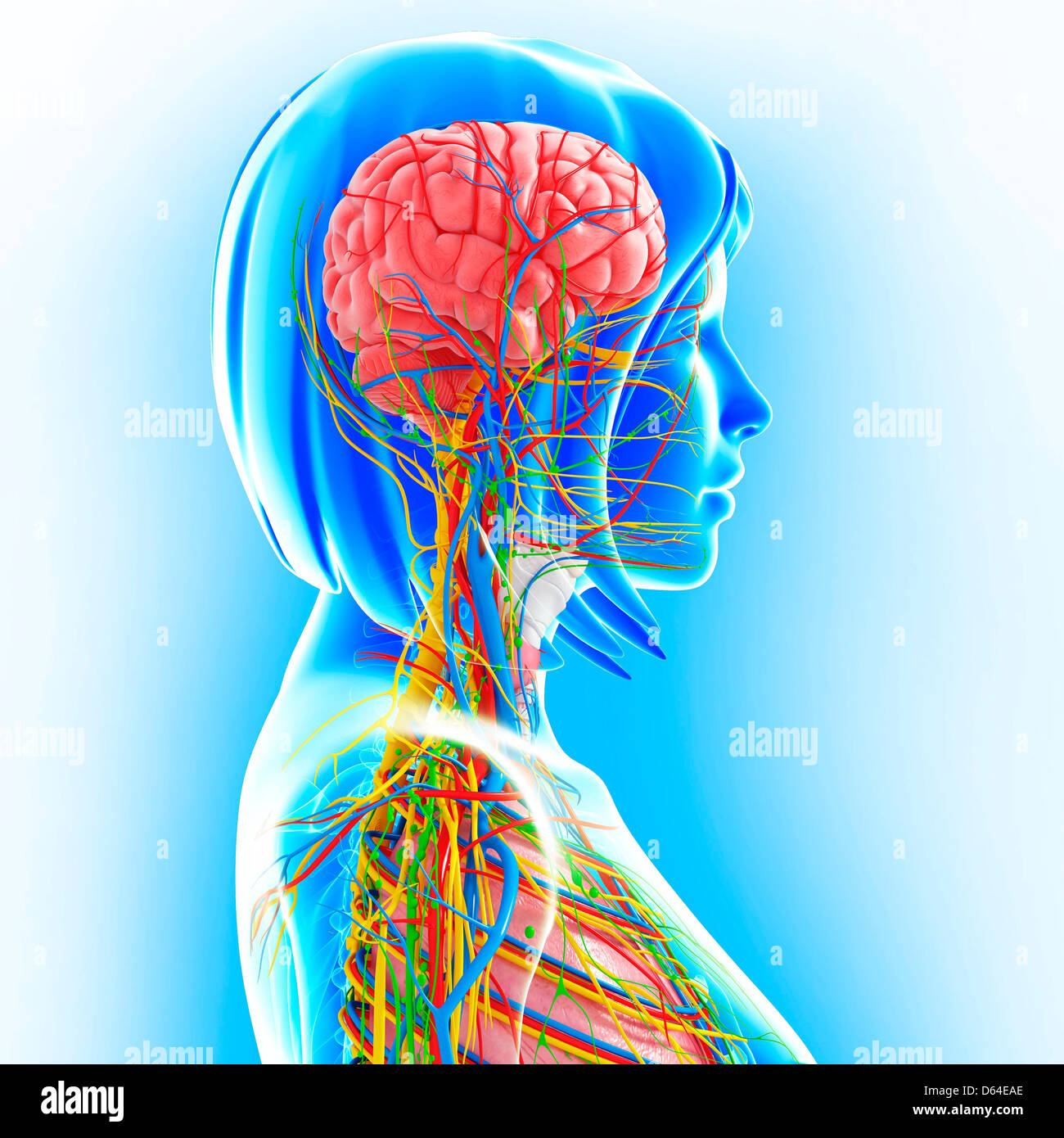Upper body anatomy, artwork Stock Photo: 55418118 - Alamy