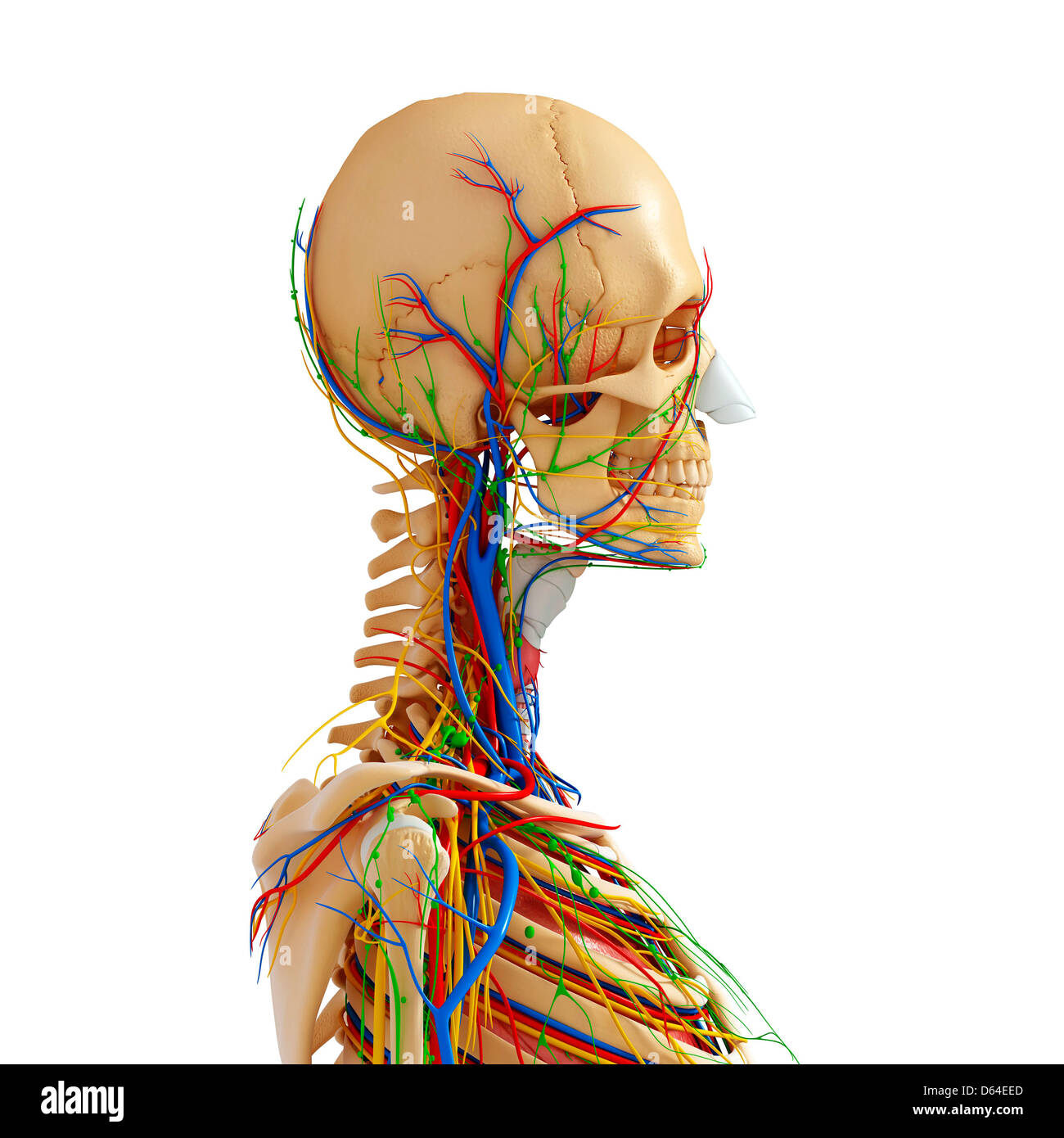 Upper Body Nerve Supply Stock Photos & Upper Body Nerve Supply Stock ...