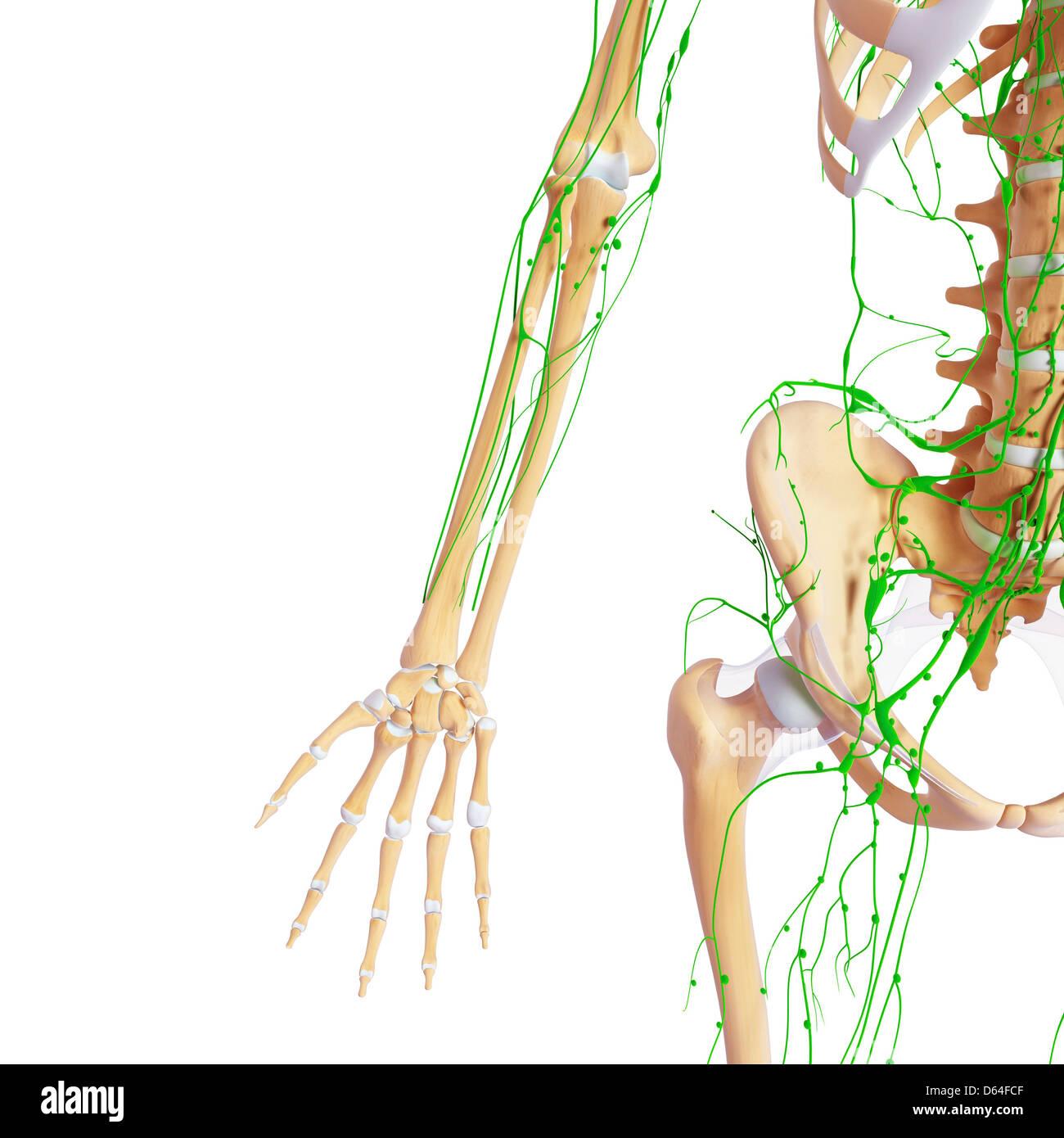 Human anatomy, artwork - Stock Image