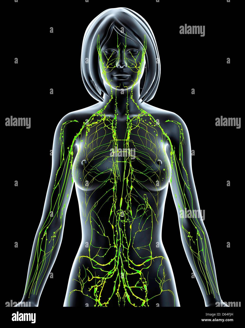 Female Lymphatic System Stock Photos Female Lymphatic System Stock