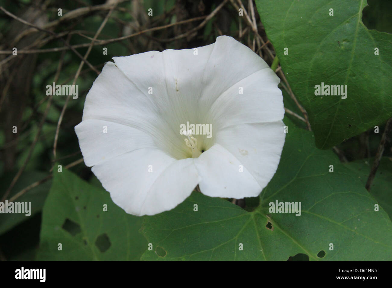 Convolvulaceae_Morning-Glory-Family-Flowers__25478 - Stock Image