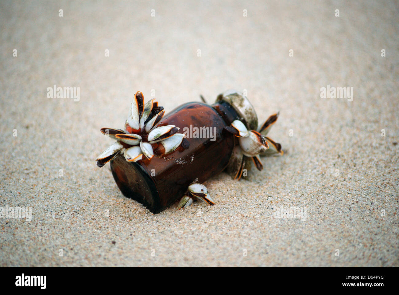 barnacles on a brown glass bottle on the indonesian beach, rubbish washed up on the beach in indonesia - Stock Image