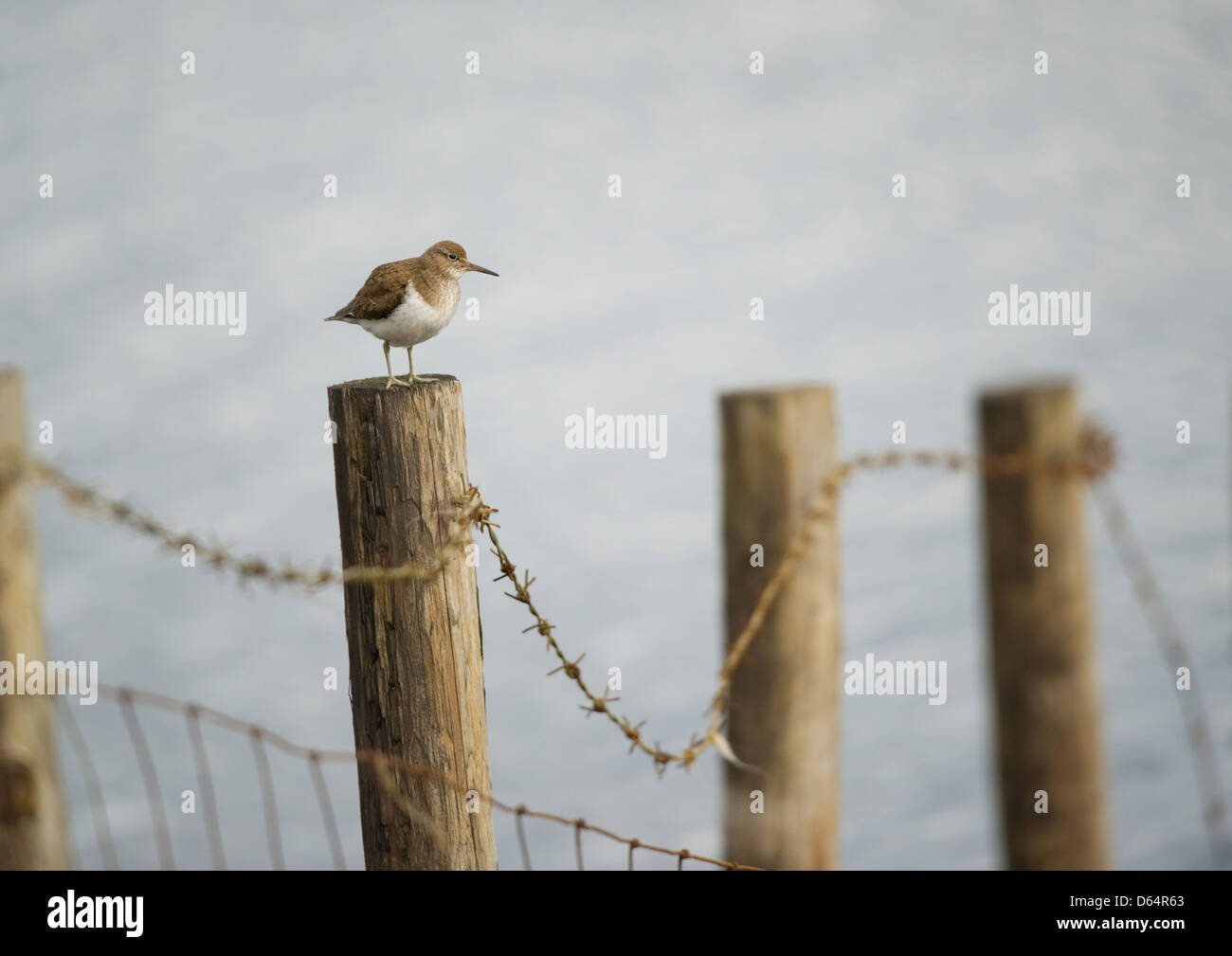 Common Sandpiper, Actitis hypoleucos, stood on a fence post by the side of a reservoir. County Durham, England, - Stock Image