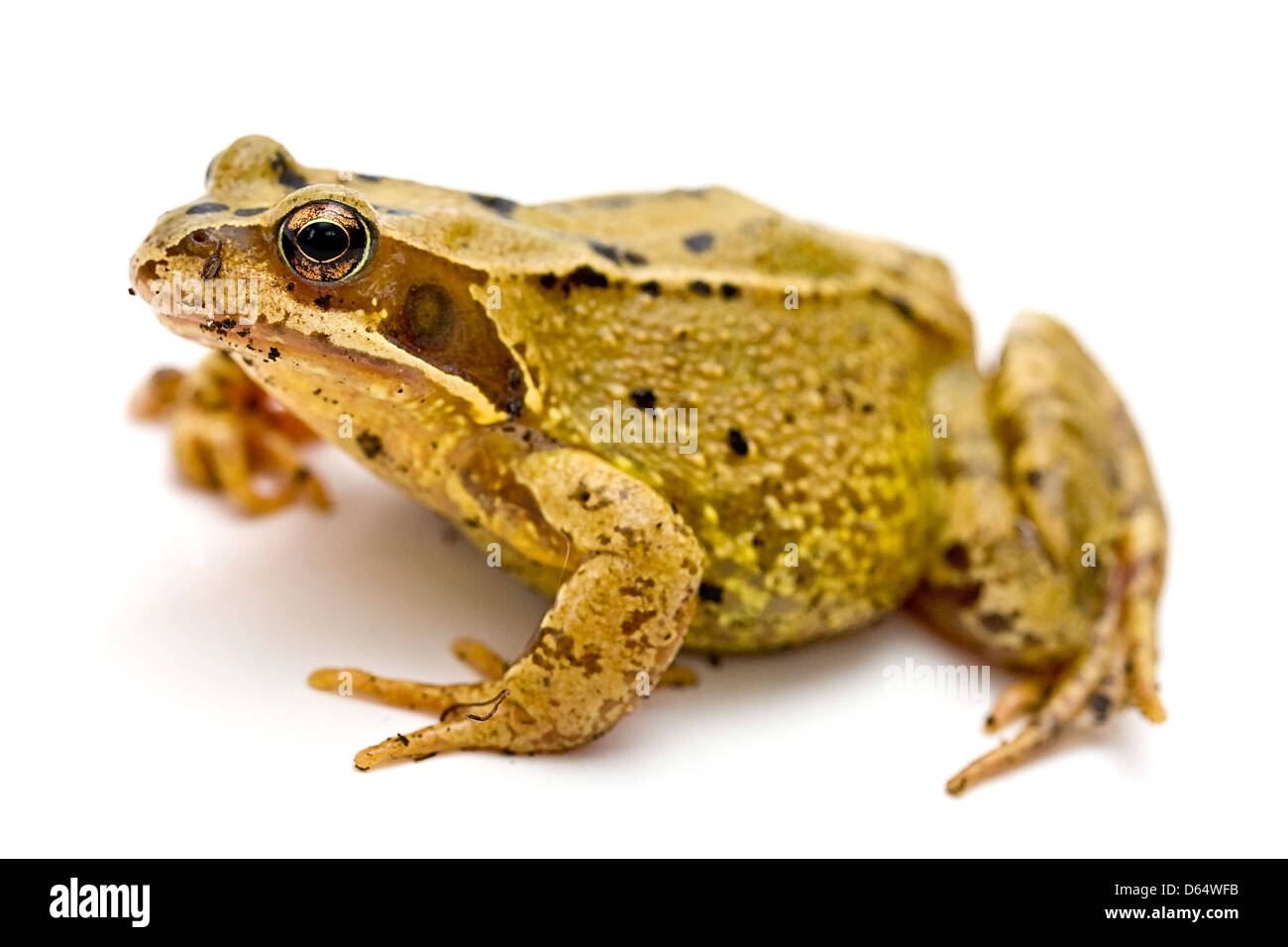 Studio style landscape photograph of a common frog. - Stock Image