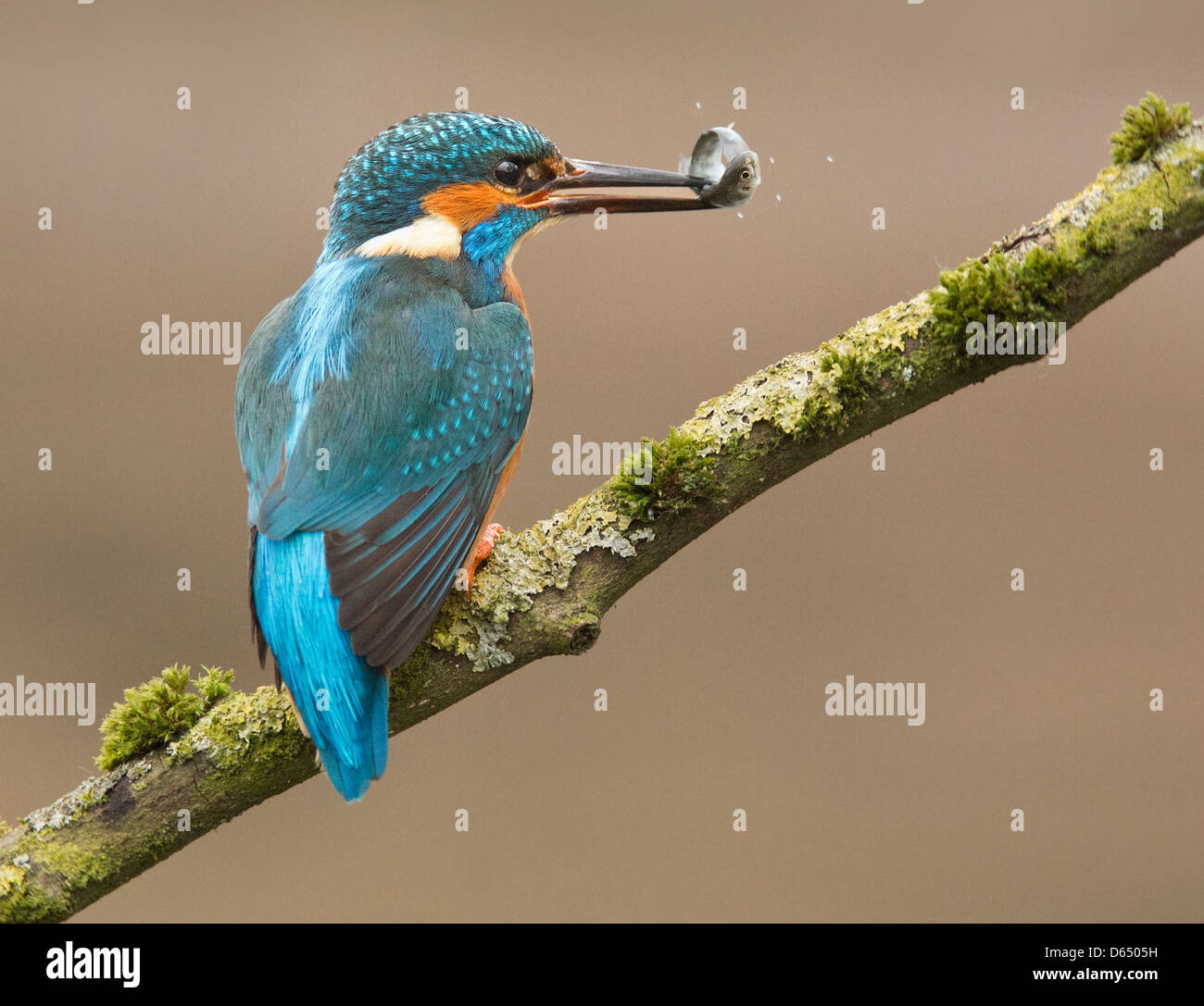 Kingfisher with fish - Stock Image