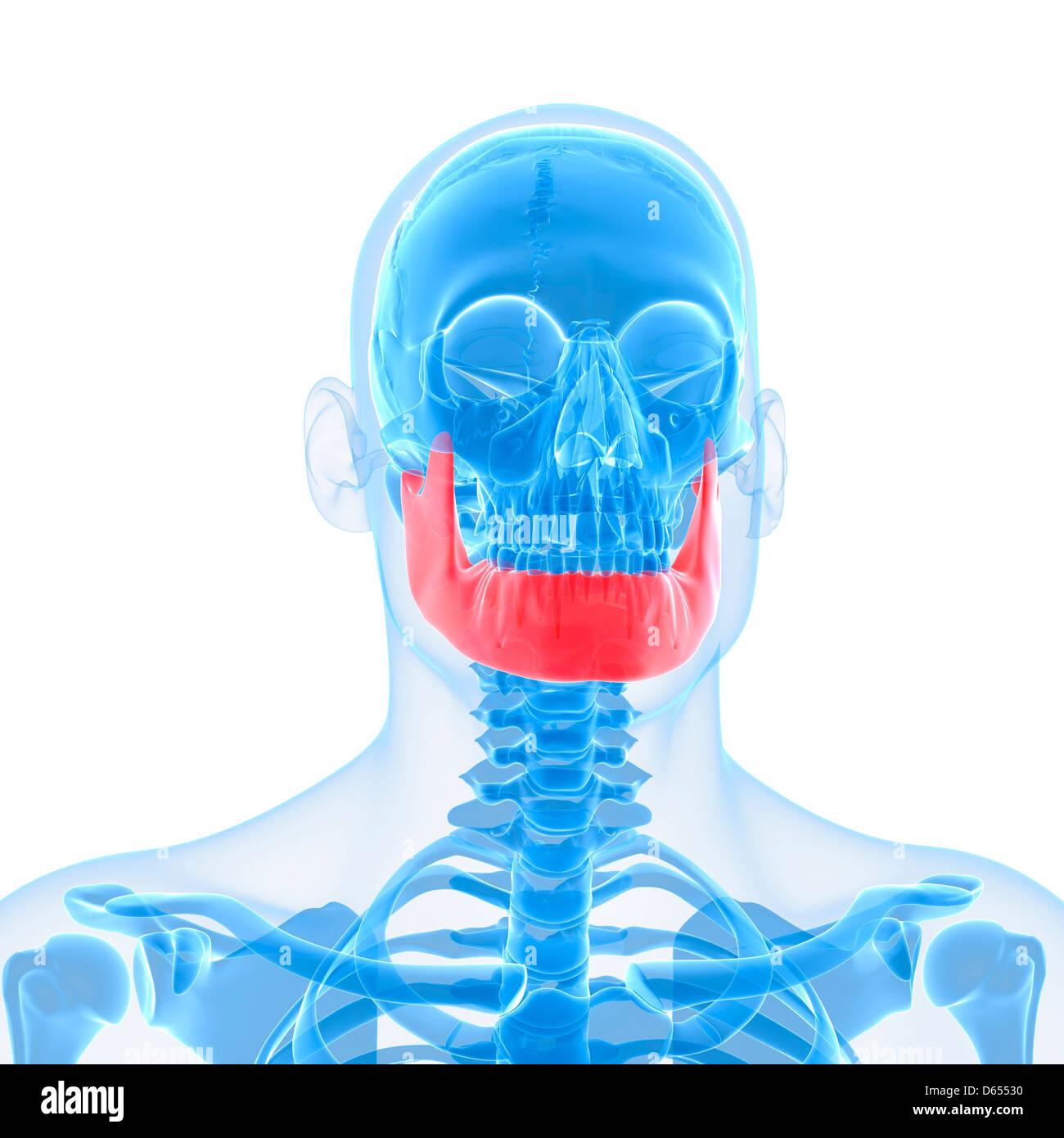Lower Jaw Bone Artwork Stock Photo 55432804 Alamy